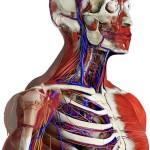 Recensione: Essential Anatomy, il corpo umano tridimensionale secondo 3D4Medical